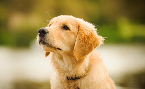 Adoptar golden retriever