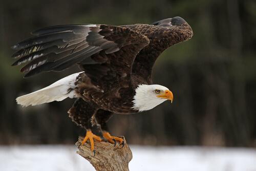 Águila calva: características, comportamiento y hábitat