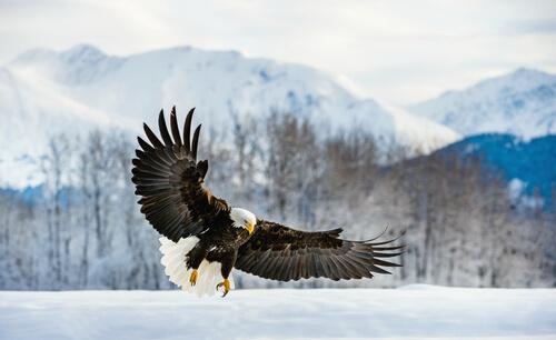 Águila calva: comportamiento