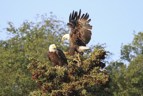Águila calva: reproducción