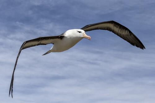 Albatros: plástico