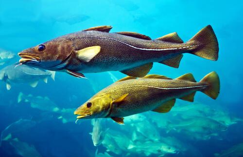 Aletas pares del pez