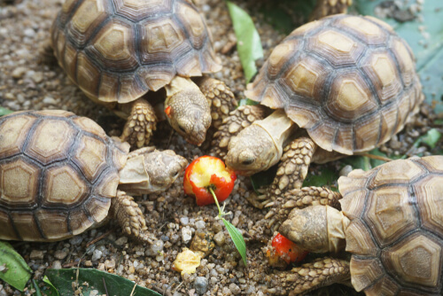 Alimentación de las tortugas africanas
