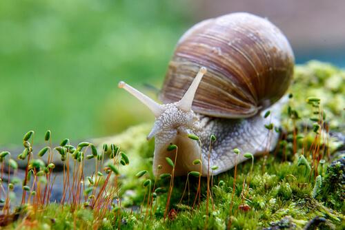 Alimentación del caracol