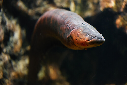 Anguila: aprende sobre este temido pez