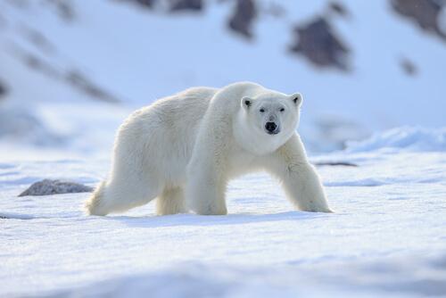 Especies animales de los polos: la perfecta adaptación al frío