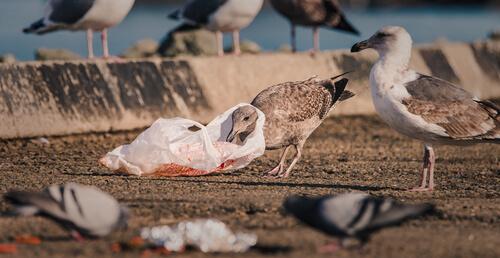 Las aves marinas, amenazadas por el cambio climático y los plásticos