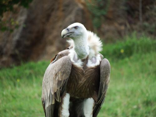 Aves necrófagas