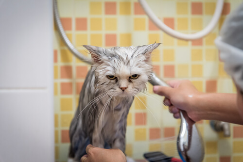 Bañar al gato