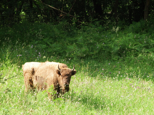 El bisonte europeo: una historia de superación