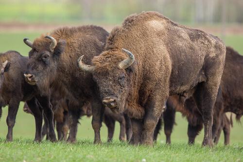 Bisonte europeo: población