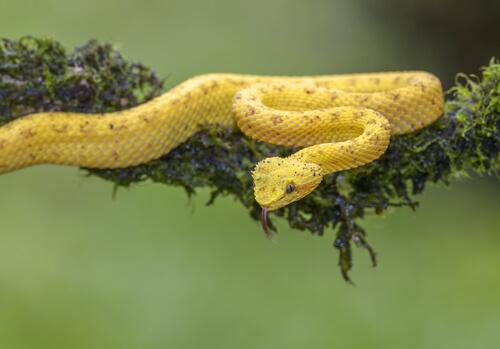 Bocaracá: serpiente venenosa