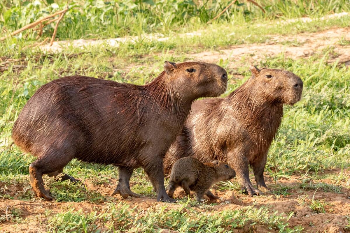 Les capybaras font partie des rongeurs les plus intelligents au monde.