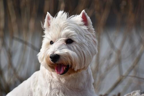 Carácter de los perros terriers