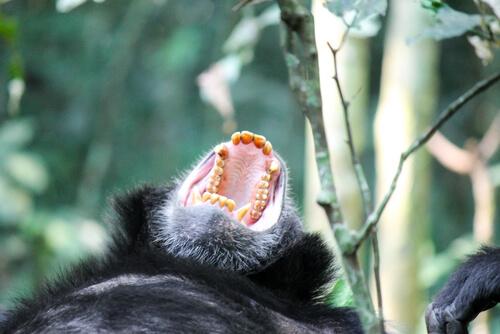 Caza furtiva de gorilas
