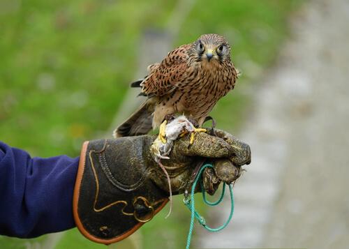 Cetrería con halcones
