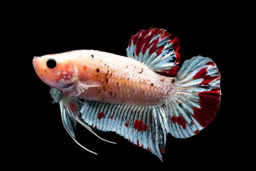 Clases de aletas que tienen los peces