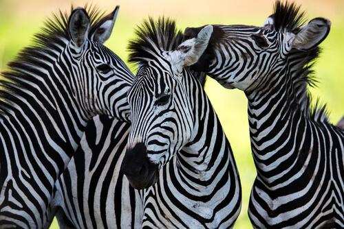 Colores de la cebra: el animal con la piel más curiosa