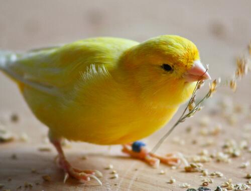 Consejos básicos para alimentar a un canario