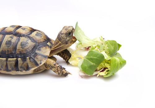 ¿Cómo debemos alimentar a una tortuga?