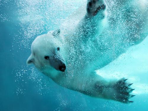 Cómo es la vida del oso polar.