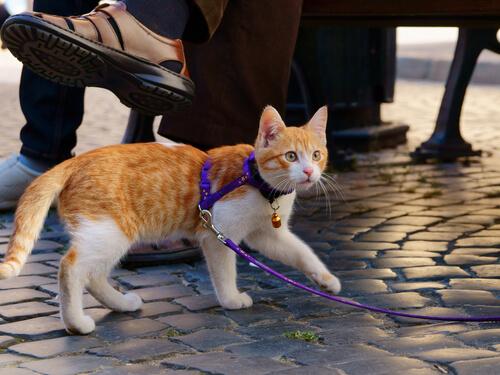 Cómo pasear a tu gato con correa