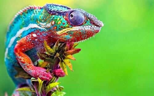 Cómo saber si un camaleón es macho o hembra