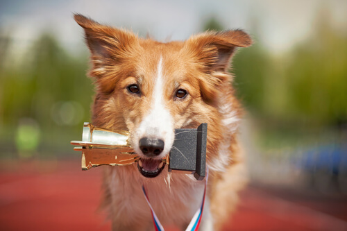 Competiciones de perros de belleza