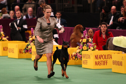 Curiosidades sobre el concurso de belleza canina Westminster Kennel Club