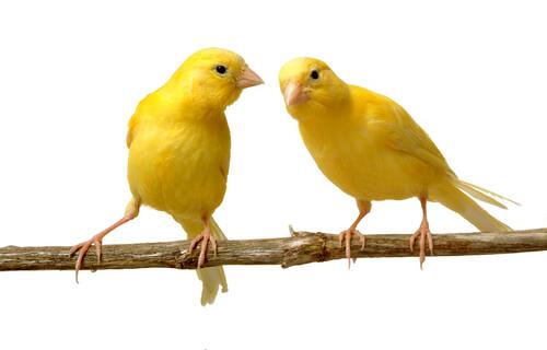 La crianza de canarios: todo lo que debes saber