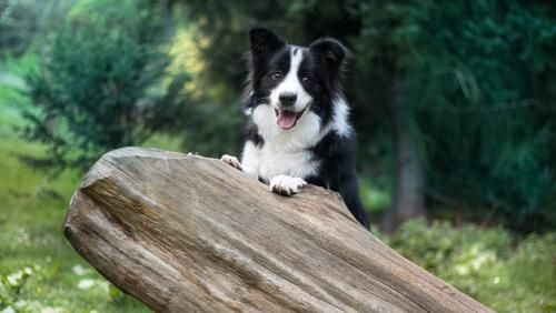 5 razas de perros más obedientes