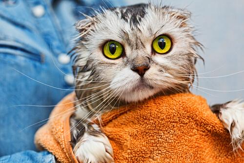 Cuando hay que bañar a un gato