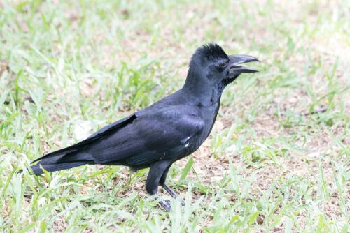 Cuervo picudo