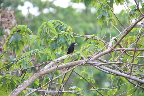 Cuervo piquiblanco