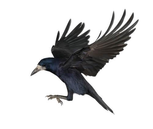 Los cuervos fabrican herramientas