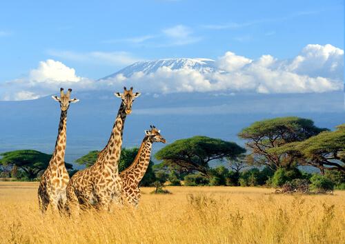 5 curiosidades de la jirafa