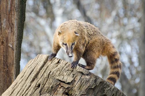 Curiosidades del coatí, un simpático de hocico alargado
