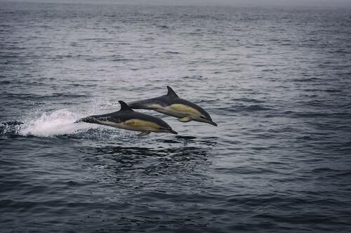 Delfín de flancos blancos