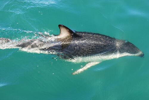 Delfín oscuro: alimentación