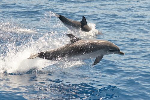 Delfín pintado del Atlántico