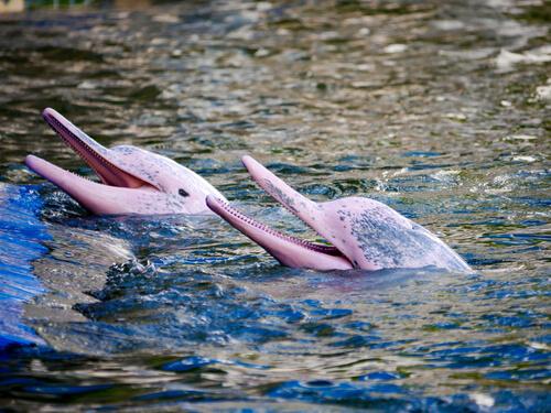 El curioso delfín rosado del Amazonas