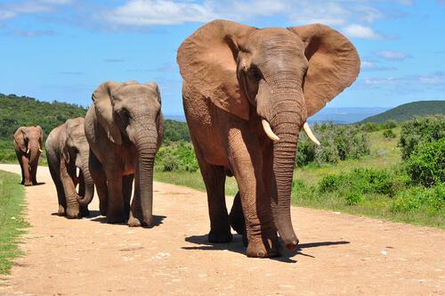 Diferencias entre elefante asiático y africano
