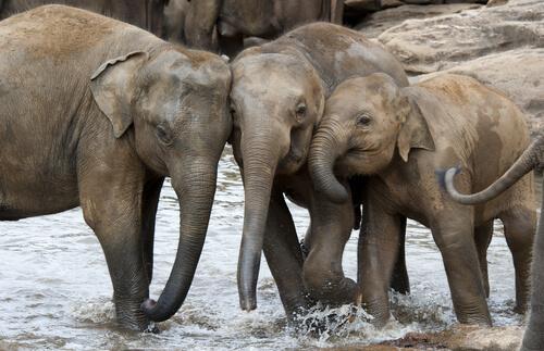 Elefante asiático vs elefante africano