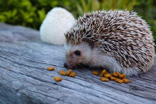 Erizo de tierra: qué comen