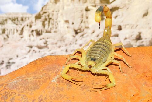 Escorpión amarillo del Sáhara
