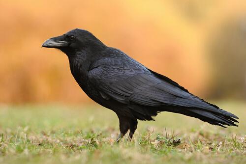 5 especies de cuervos