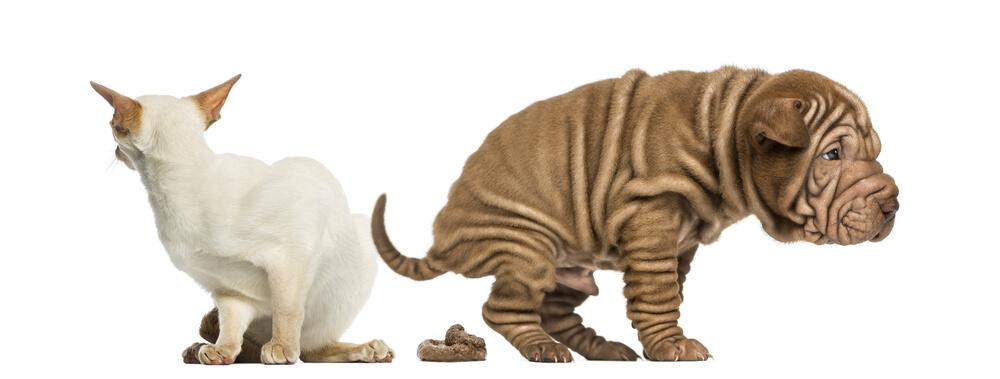 Cómo tratar el estreñimiento en mascotas