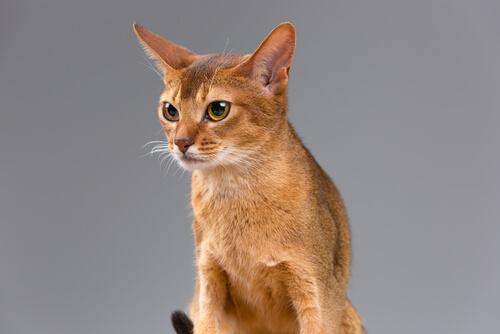 Gato abisinio: temperamento