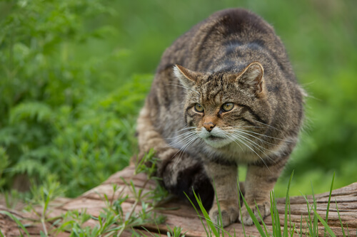 Gato montés: características, comportamiento y hábitat