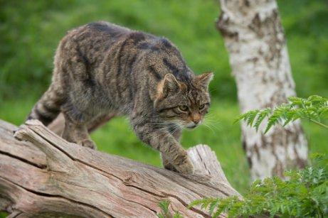 Gato montés: comportamiento